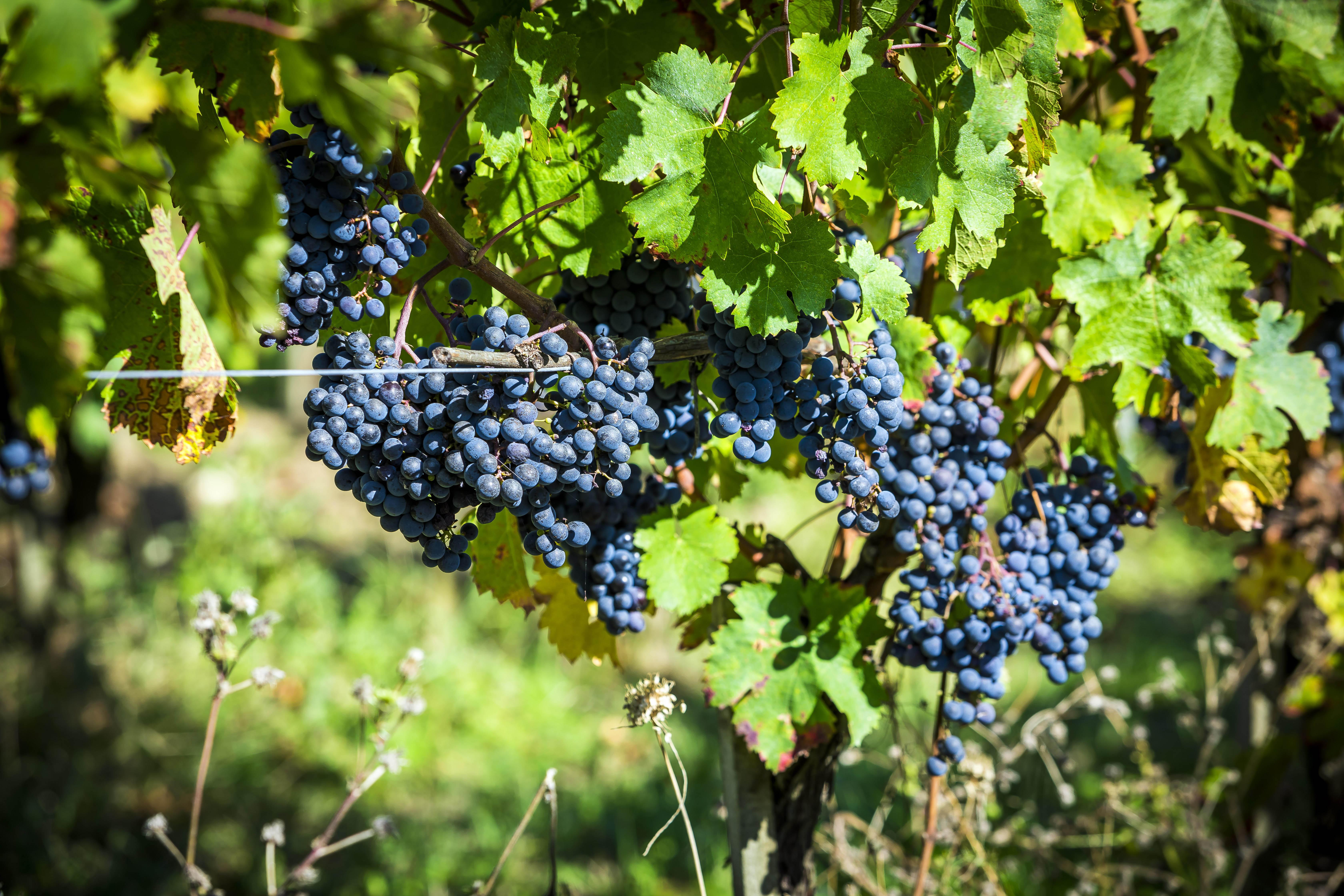 Grand Vin. Côtes de Bergerac : un travail qui porte ses fruits...
